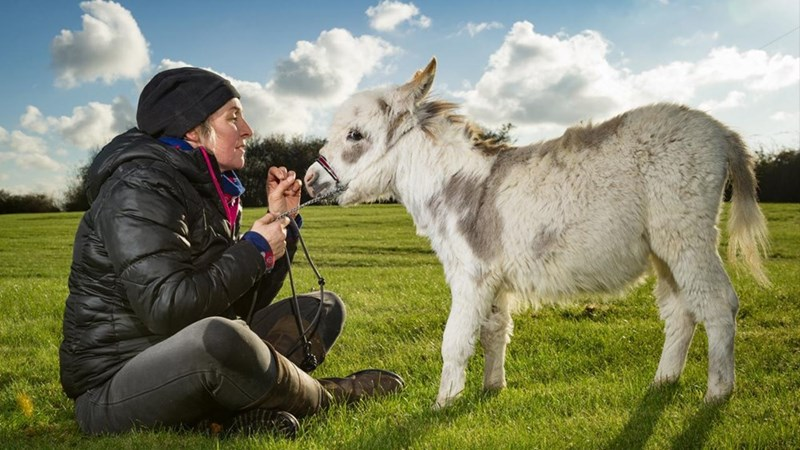 tiny white donkey being fed by a woman