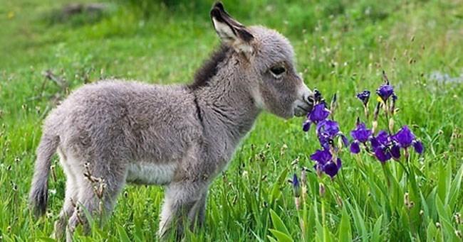 cute tiny donkey smelling flowers