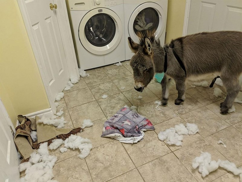 tiny donkey standing in a laundry room amidst remains of a pillow