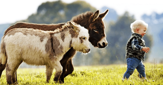 two tiny donkeys walking behind a toddler
