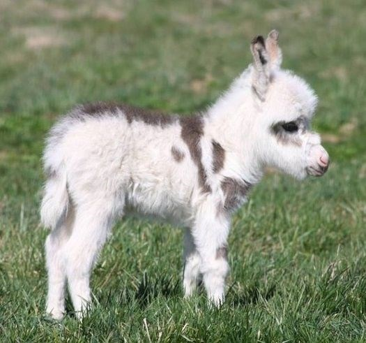 tiny donkey with white fur and brown spots
