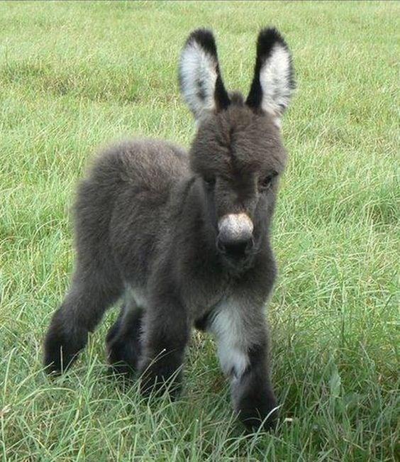 fluffy tiny donkey walking in grass