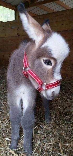 adorable tiny donkey looking to the side