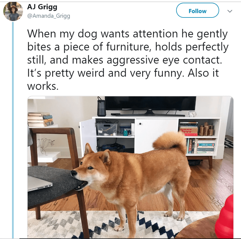 Dog - AJ Grigg Follow @Amanda_Grigg When my dog wants attention he gently bites a piece of furniture, holds perfectly still, and makes aggressive eye contact. It's pretty weird and very funny. Also it works. COCO8