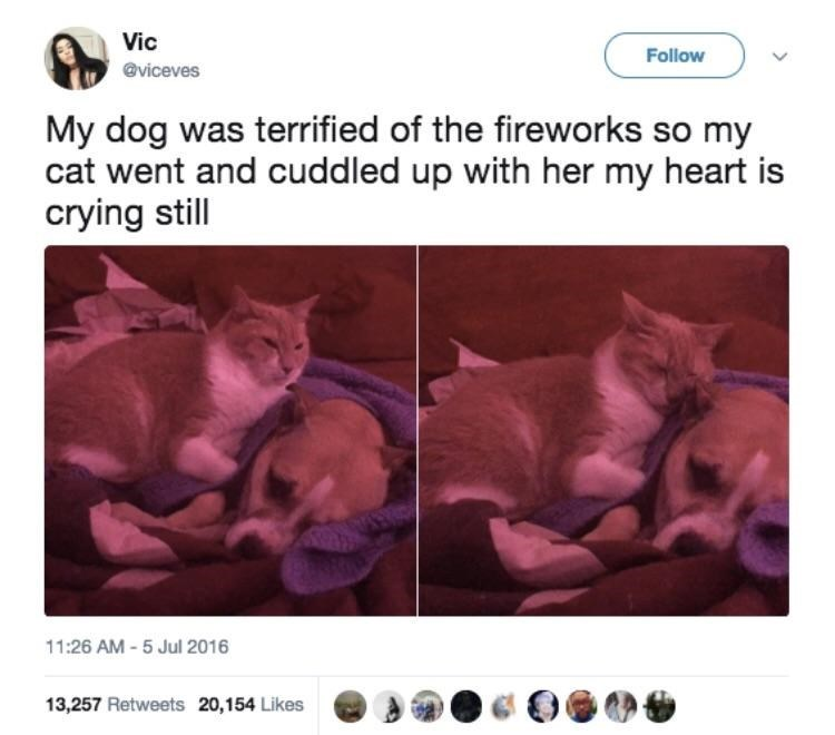 Sphynx - Vic Follow @viceves My dog was terrified of the fireworks so my cat went and cuddled up with her my heart is crying still 11:26 AM -5 Jul 2016 13,257 Retweets 20,154 Likes