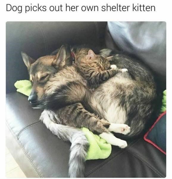 Cat - Dog picks out her own shelter kitten