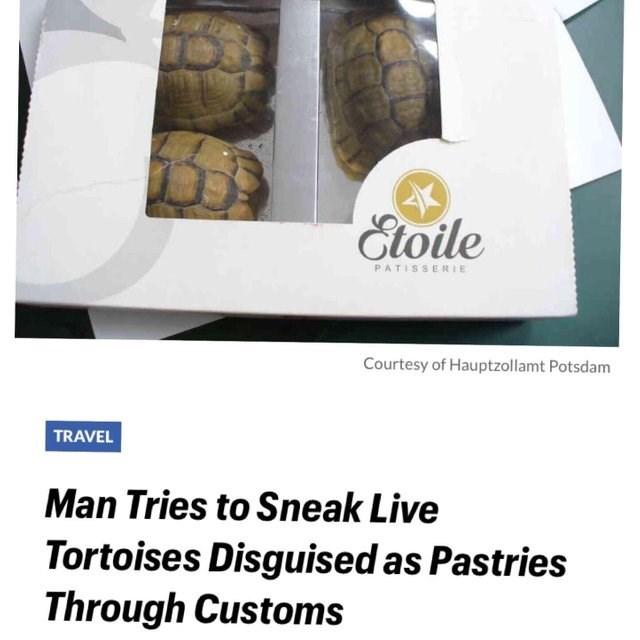 Tortoise - Etoile PATISSERIE Courtesy of Hauptzollamt Potsdam TRAVEL Man Tries to Sneak Live Tortoises Disguised as Pastries Through Customs