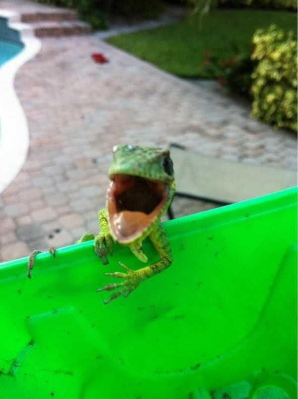 lizard meme opening its mouth wide