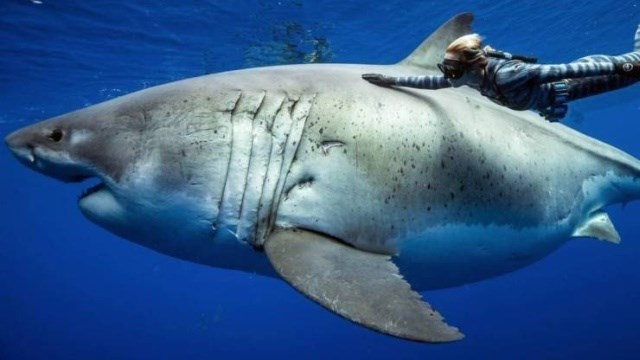 shark meme of a great white
