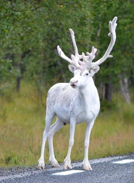 pic of a rare white reindeer