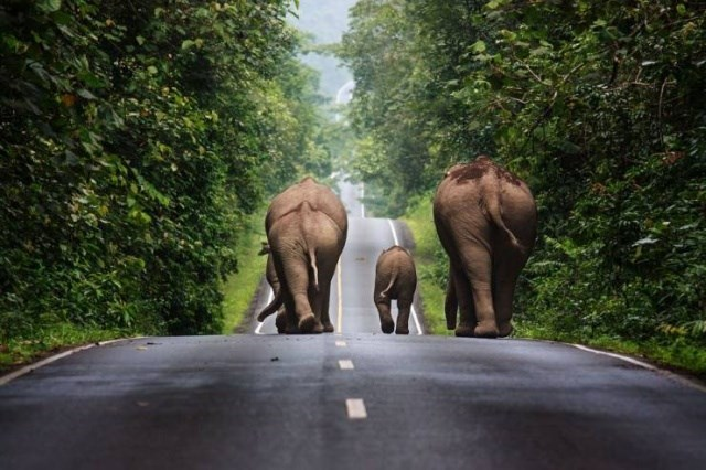 elephants walking down a paved road together