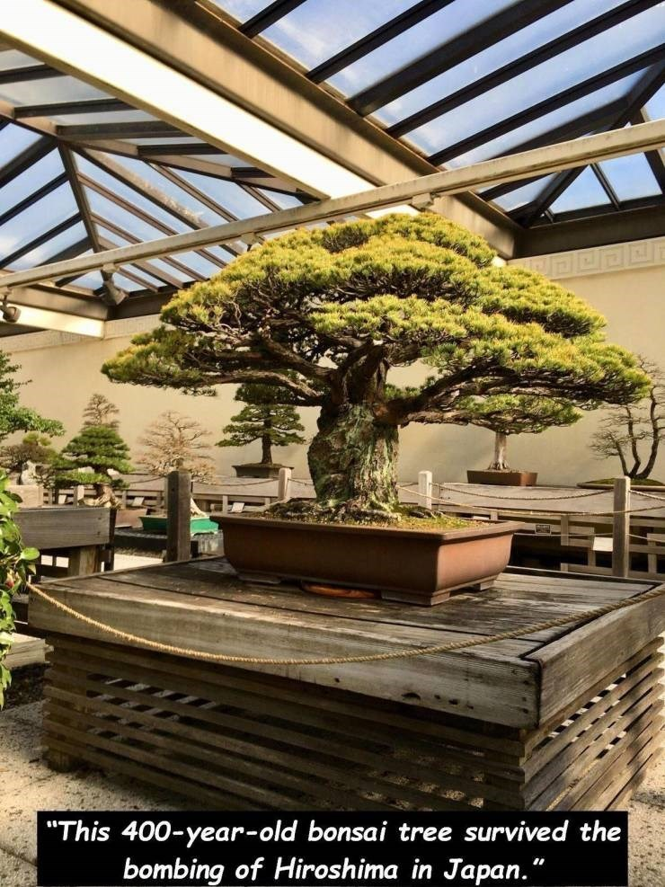 """Houseplant - """"This 400-year-old bonsai tree survived the bombing of Hiroshima in Japan."""""""