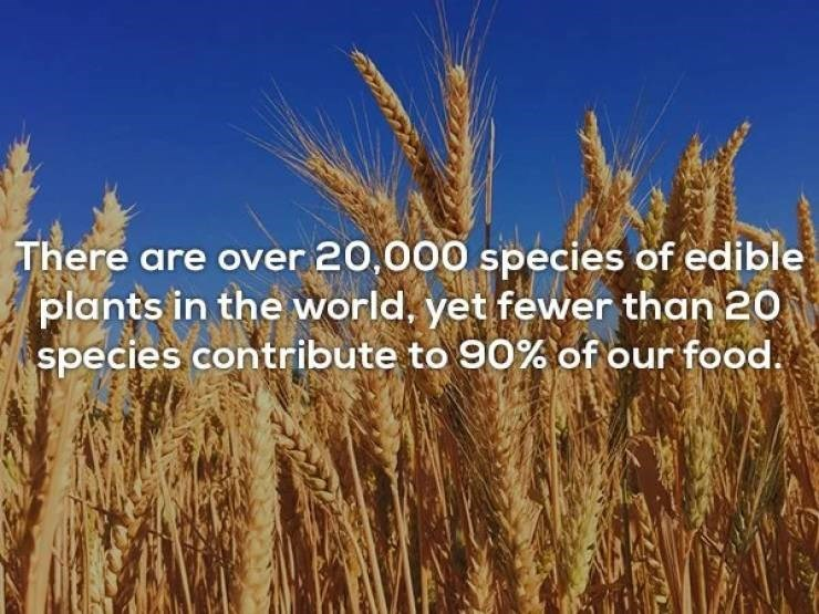 """Text that reads, """"There are over 20,000 specifies of edible plants in the world, yet fewer than 20 species contribute to 90% of our food"""""""