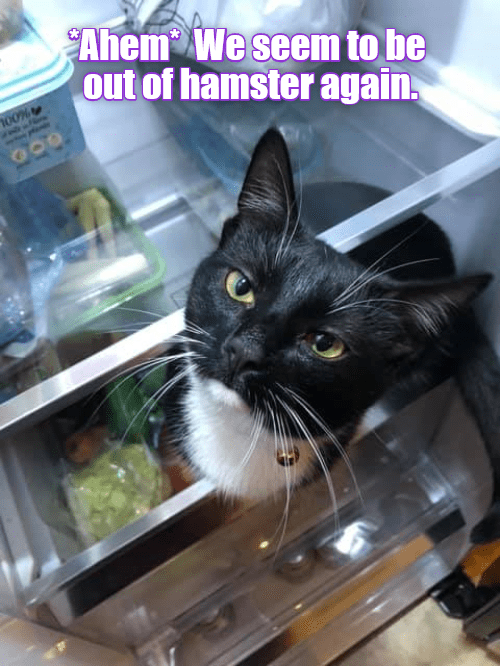 Cat - Ahem We seem to be out of hamster again oo%