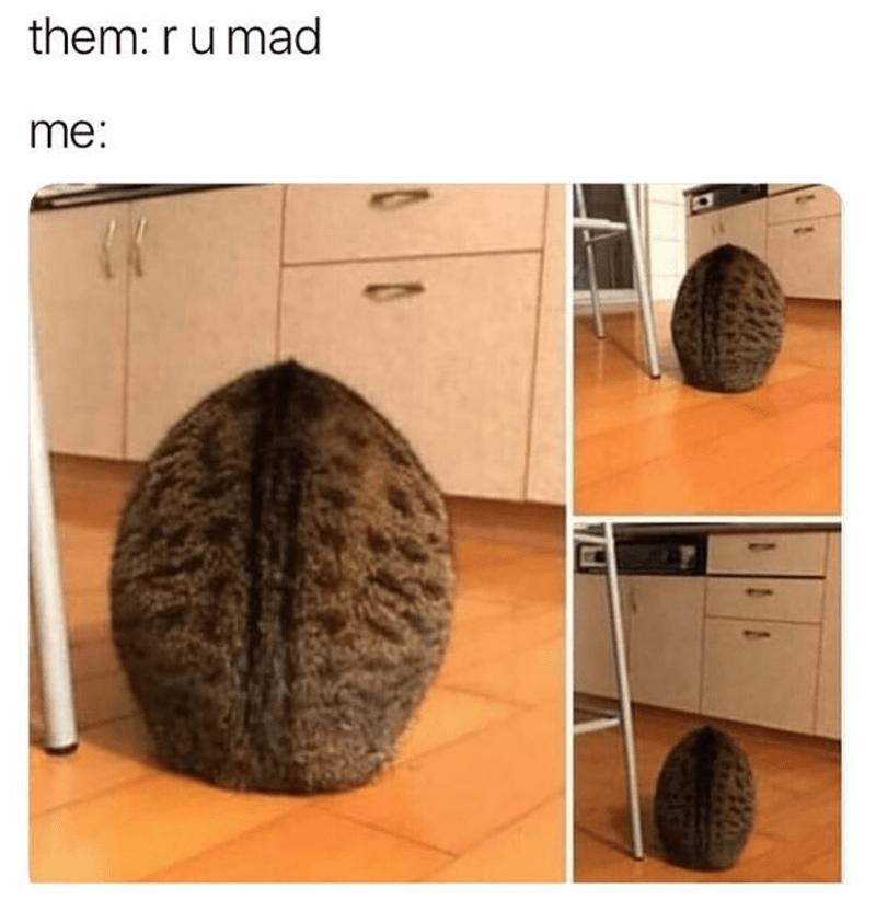cat meme - Hair - them: r u mad me: