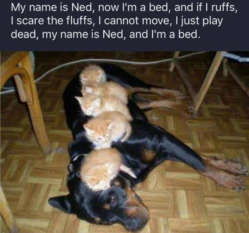"""Caption that reads, """"My name is Ned, now I'm a bed and if I ruffs I scare the fluffs, I cannot move I just play dead, my name is Ned and I'm a bed"""" above a pic of a dog with four kittens lying on top of him"""