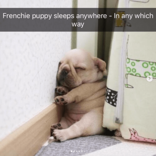 Dog - Frenchie puppy sleeps anywhere - In any which way