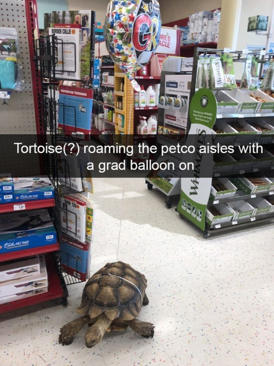 Tortoise - BRDER COLLIE RES ACLE TERs Tortoise(?) roaming the petco aisles with a grad balloon on 19 taLnIPAD WHM
