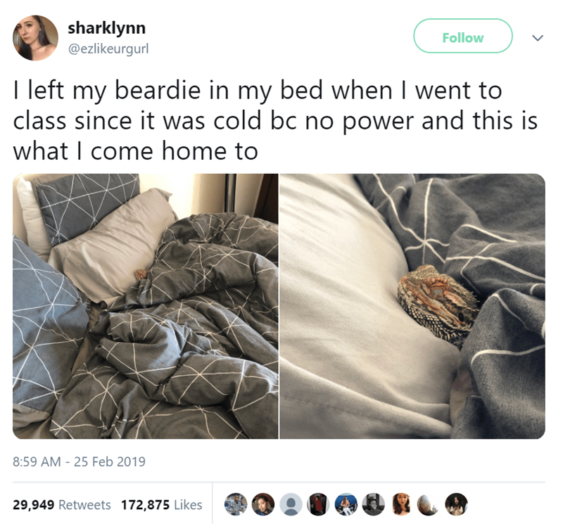 Font - sharklynn Follow @ezlikeurgurl I left my beardie in my bed when I went to class since it was cold bc no power and this is what I come home to 8:59 AM - 25 Feb 2019 29,949 Retweets 172,875 Likes