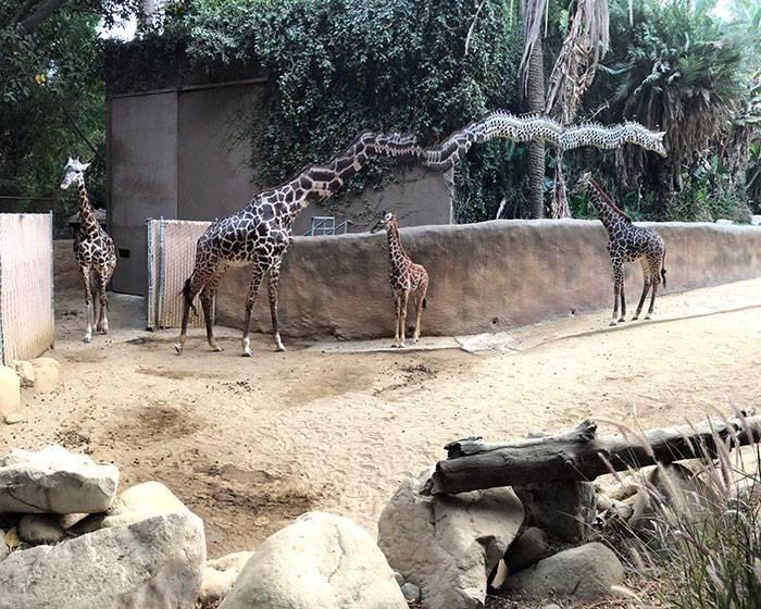panoramic fails - Giraffe