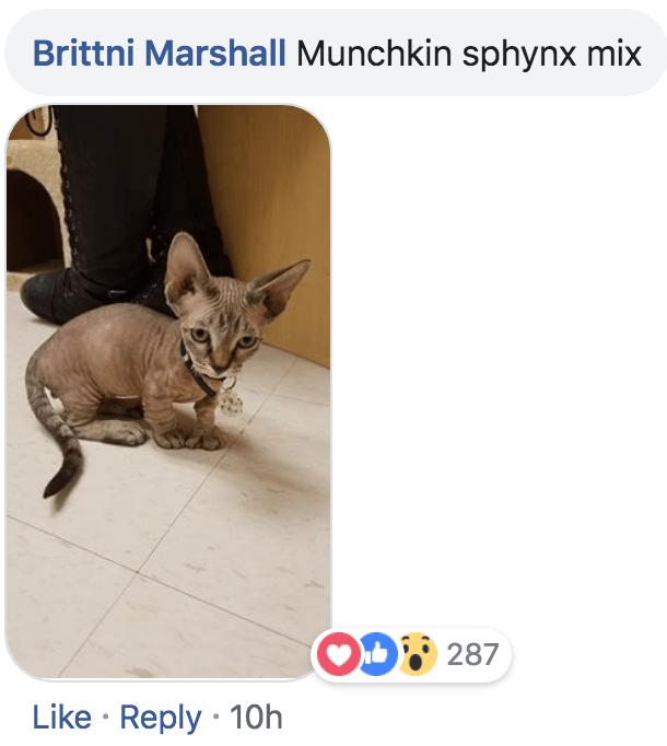 Cat - Brittni Marshall Munchkin sphynx mix OD 287 Like Reply 10h