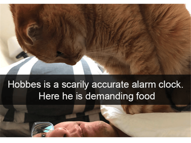 alarm clock cat sitting on sleeping person to wake them up FEED ME