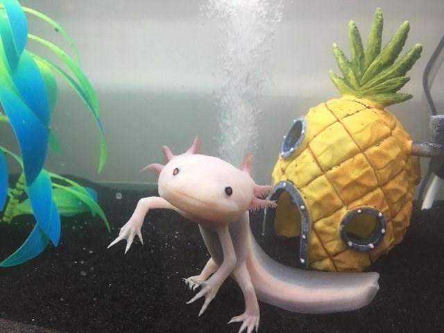 cute animals - Axolotl