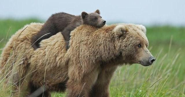 cute animals - Brown bear