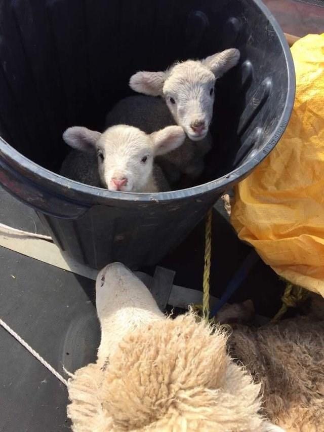 cute animals - Sheep - GIN FUS SOL LID