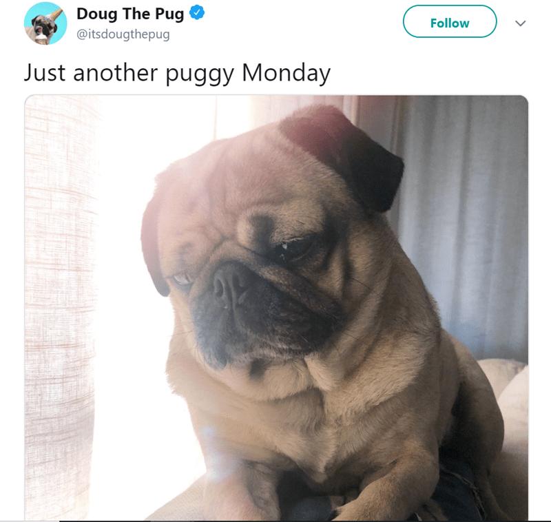 Dog - Doug The Pug Follow @itsdougthepug Just another puggy Monday
