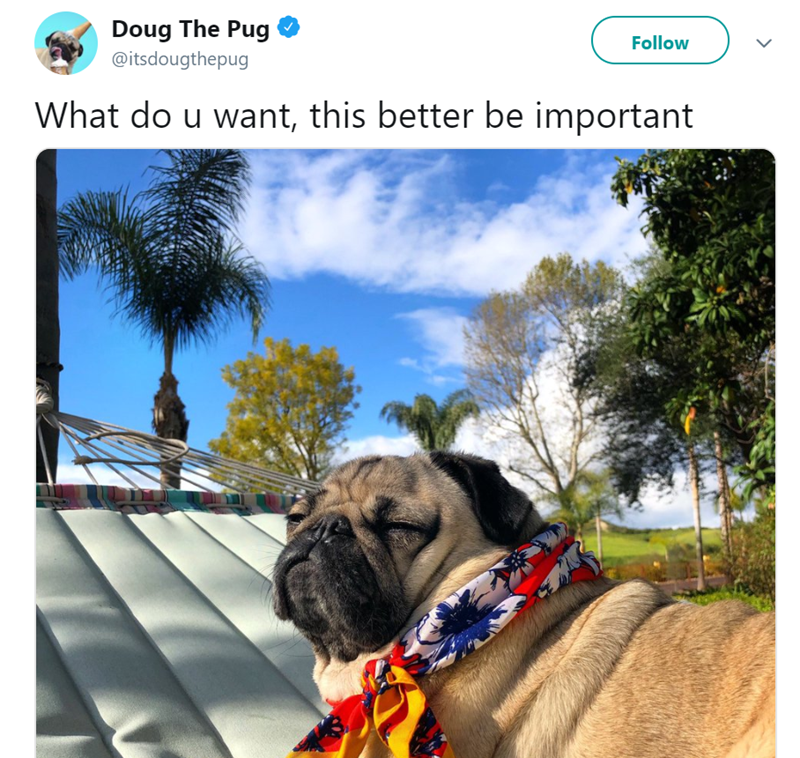 Dog - Doug The Pug Follow @itsdougthepug What do u want, this better be important www.a
