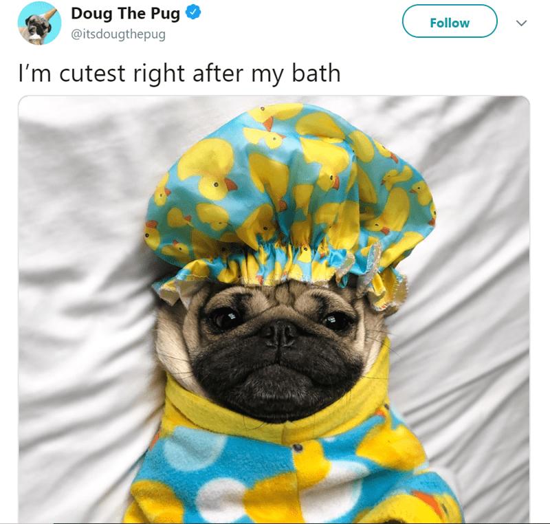 Pug - Doug The Pug Follow @itsdougthepug I'm cutest right after my bath