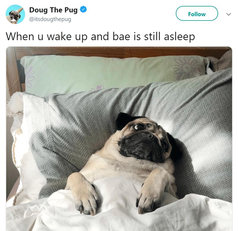 Pug - Doug The Pug Follow @itsdougthepug When u wake up and bae is still asleep