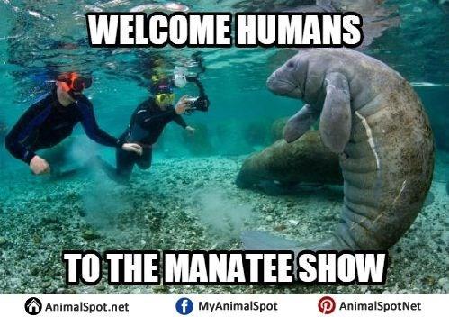 Manatee - WELCOME HUMANS TO THE MANATEE SHOW fMyAnimalSpot AnimalSpotNet AnimalSpot.net