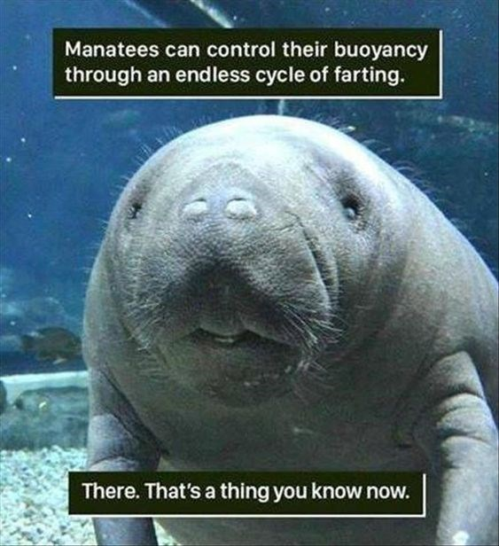 Vertebrate - Manatees can control their buoyancy through an endless cycle of farting There. That's a thing you know now.