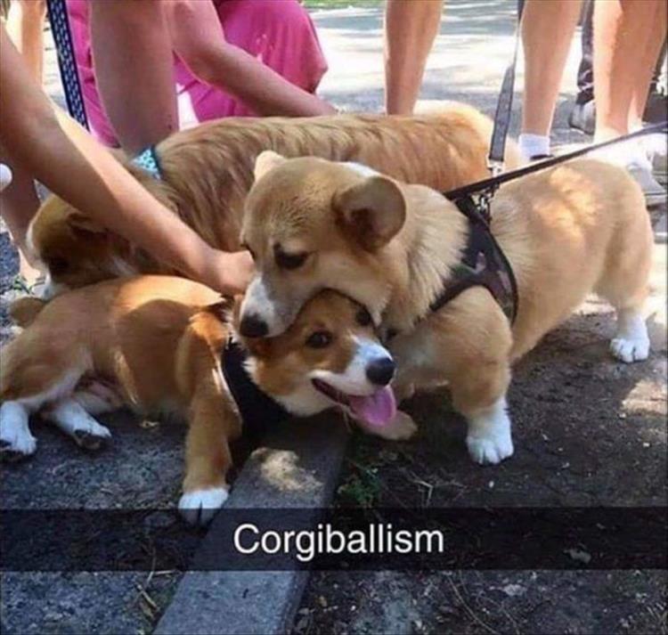 Dog - Corgiballism