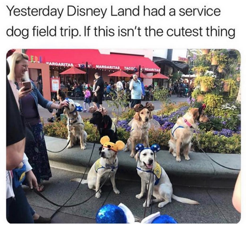 Dog - Yesterday Disney Land had a service dog field trip. If this isn't the cutest thing MARGARITAS MARGARITAS TACOS 2OARITAS