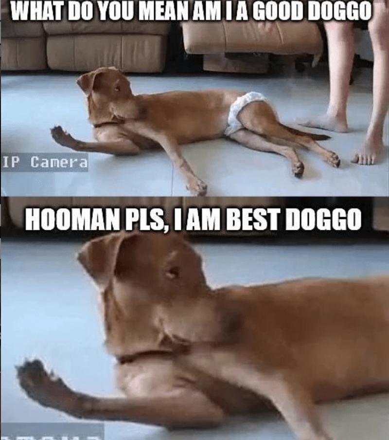 Dog - WHAT DO YOU MEAN AM IA GOOD DOGGO IP Camera HOOMAN PLS, I AM BEST DOGGO