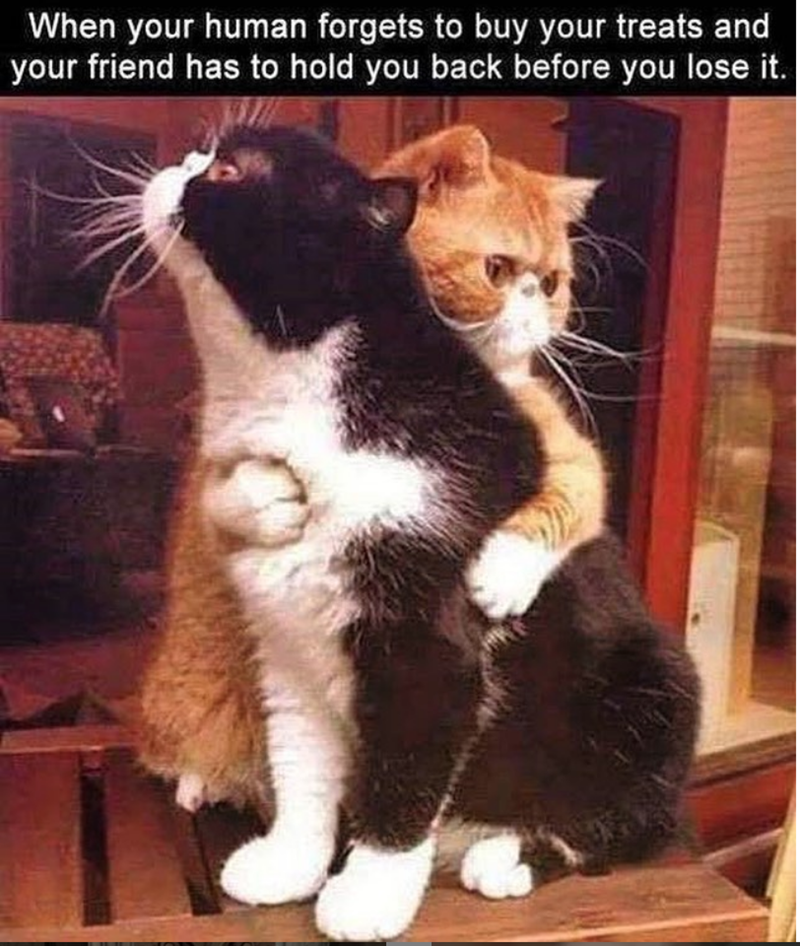 caturday cat memes - Cat - When your human forgets to buy your treats and your friend has to hold you back before you lose it.