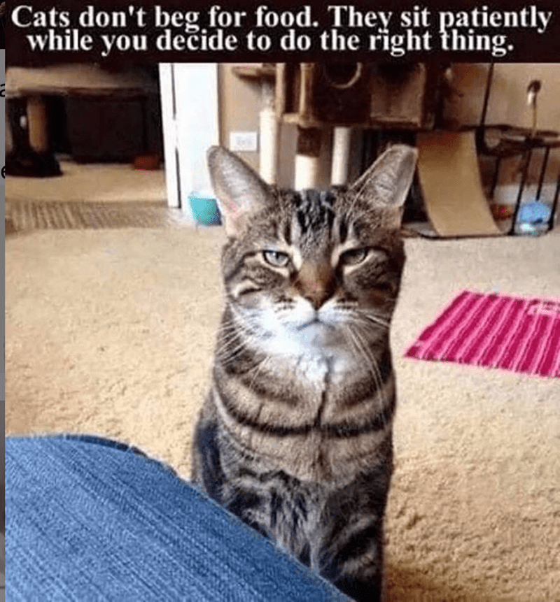 caturday cat memes - Cat - Cats don't beg for food. They sit patiently while you decide to do the right thing.