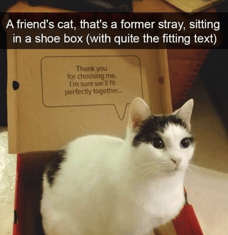 caturday cat memes - Cat - A friend's cat, that's a former stray, sitting in a shoe box (with quite the fitting text) Thank you for choosing me. I'm sure we ll fit perfectly together..
