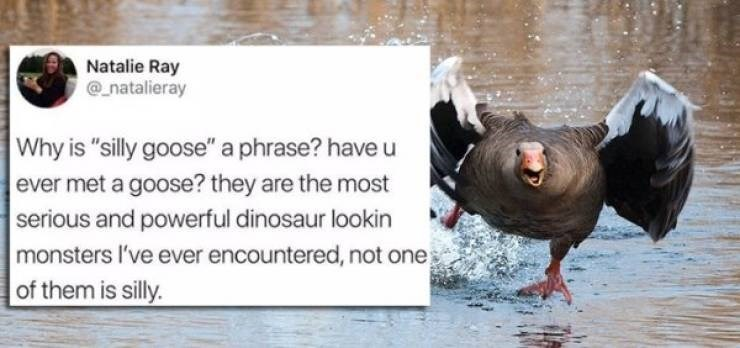 """twitter post Why is """"silly goose"""" a phrase? have u ever met a goose? they are the most serious and powerful dinosaur lookin monsters I've ever encountered, not one them is silly."""