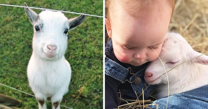 goats study facial expressions