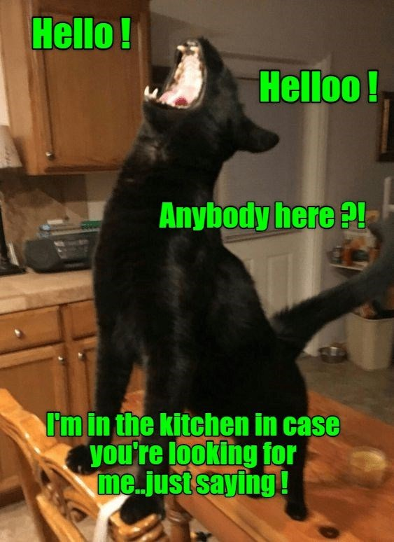 Canidae - Hello! Helloo! Anybody here ?! I'm in the kitchen in case you're looking for me.just saying!