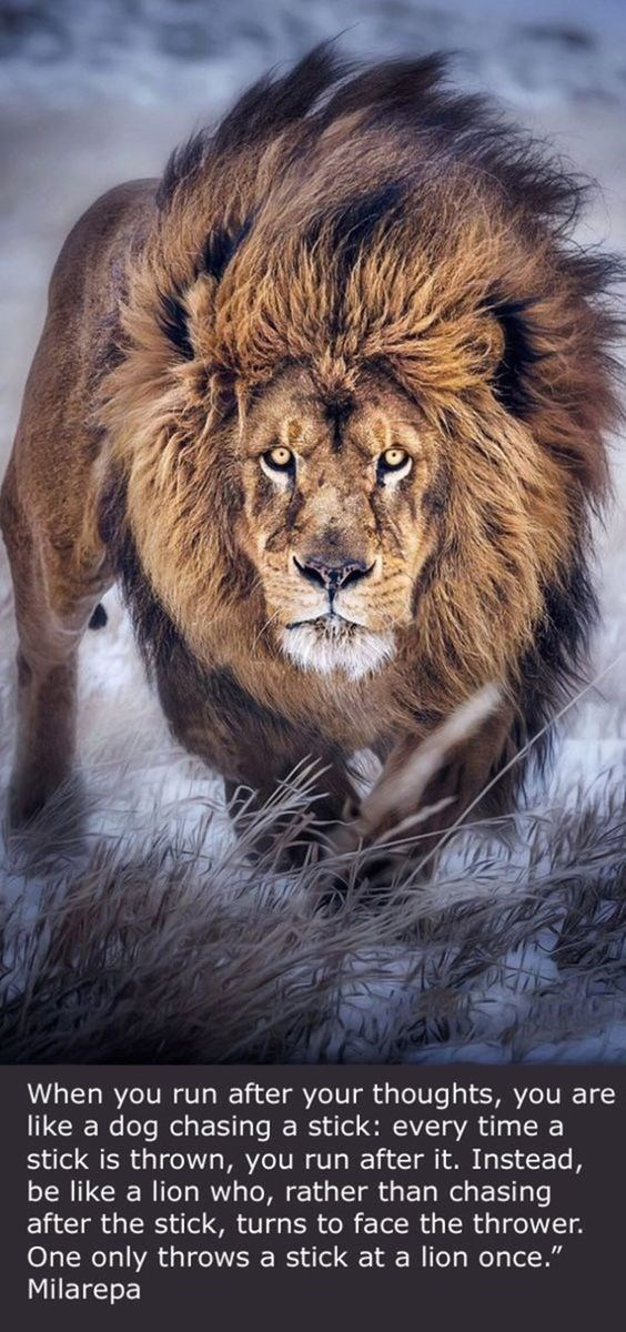 """motivational lions - - Vertebrate - When you run after your thoughts, you are like a dog chasing a stick: every time a stick is thrown, you run after it. Instead be like a lion who, rather than chasing after the stick, turns to face the thrower. One only throws a Milarepa stick at a lion once."""""""