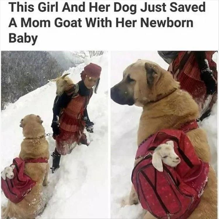 Dog - This Girl And Her Dog Just Saved A Mom Goat With Her Newborn Baby