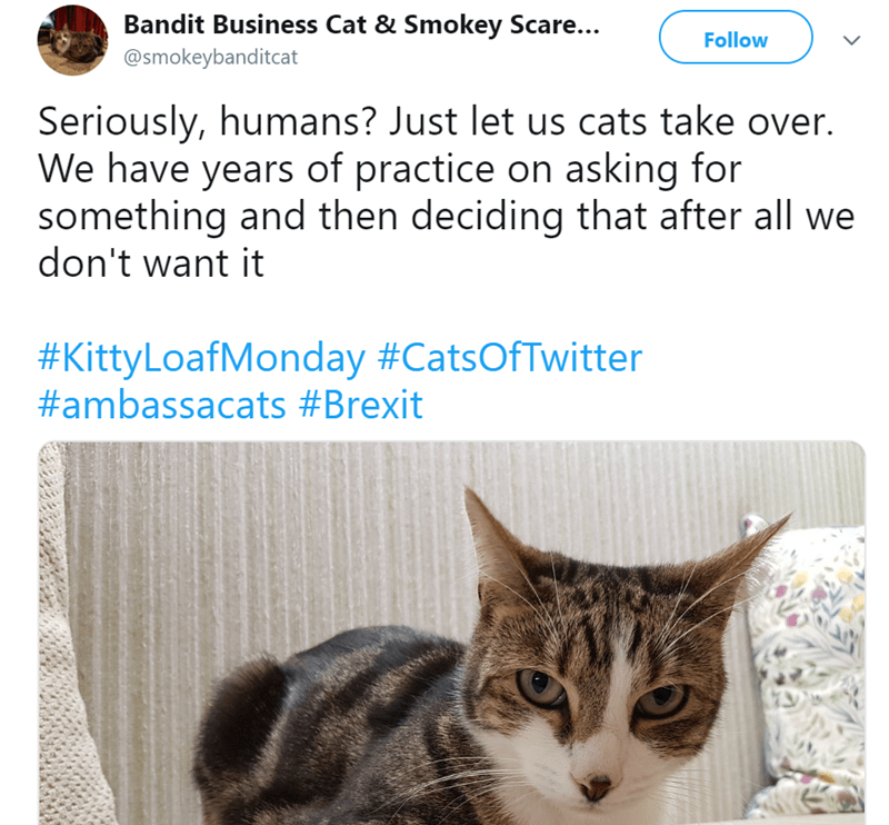 Cat - Bandit Business Cat & Smokey Scare... Follow @smokeybanditcat Seriously, humans? Just let us cats take over. We have years of practice on asking for something and then deciding that after all we don't want it #Kitty LoafMonday #CatsOfTwitter #ambassacats #Brexit