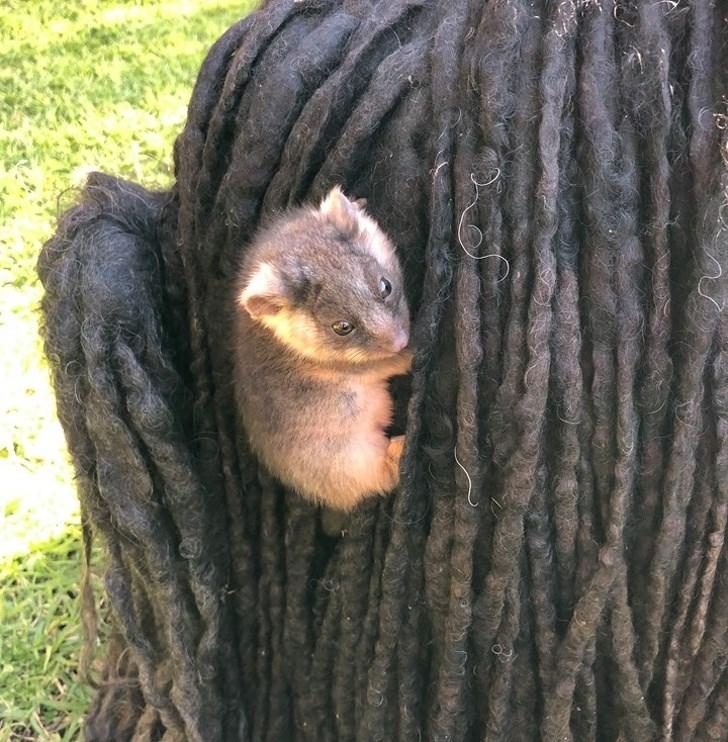 puli dog baby possum
