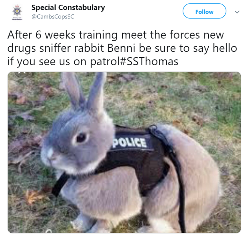 Rabbit - Special Constabulary Follow @CambsCopsSC After 6 weeks training meet the forces new drugs sniffer rabbit Benni be sure to say hello if you see us on patrol #SSThomas POLICE