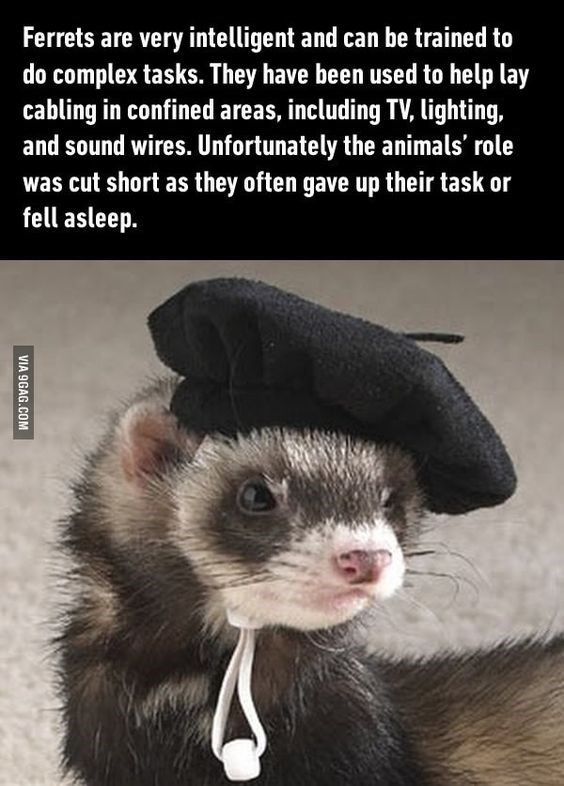 Ferret - Ferrets are very intelligent and can be trained to do complex tasks. They have been used to help lay cabling in confined areas, including TV, lighting, and sound wires. Unfortunately the animals' role was cut short as they often gave up their task or fell asleep. VIA 9GAG.COM